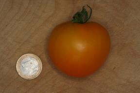 Die gelbe Tomate Goldene Königin - eine alte deutsche Tomatensorte