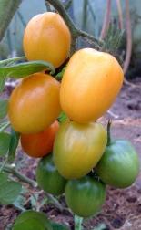 gelbe DeBerao - Frucht - Baumtomate