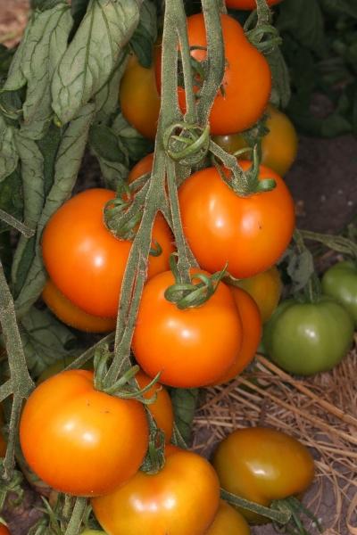Die Tomate Sungella im vollen Ertrag
