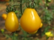 Yellow Submarine - reife Tomaten