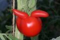 Tomatensorte Matina - mit Ohren