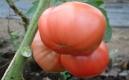 Berner Rose, eine leckere historische Fleischtomate