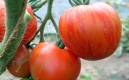 Tiger stripped - Frucht - Tomate